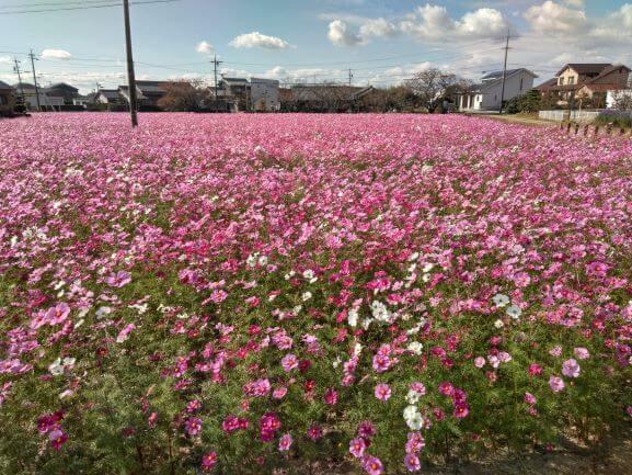 日記|安水建設|愛知県安城市を中心に三河エリアの木造注文住宅・リフォーム秋の桜!