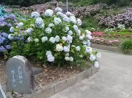 日記|安水建設|愛知県安城市を中心に三河エリアの木造注文住宅・リフォームあじさい祭り